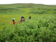 Haydn lost in a huge Salix richardsonii shrub (worry not, we faked the photo, that shrub is only 120cm tall – which is still gigantic for Herschel Island!)