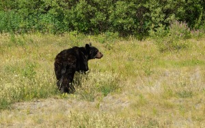 The Brown Bear just off the Alaska Highway