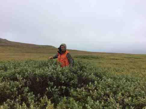 Bjorn - the tallest shrub on Qikiqtaruk-Herschel Island.