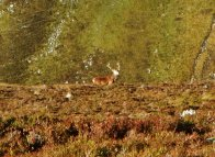 A red deer stag