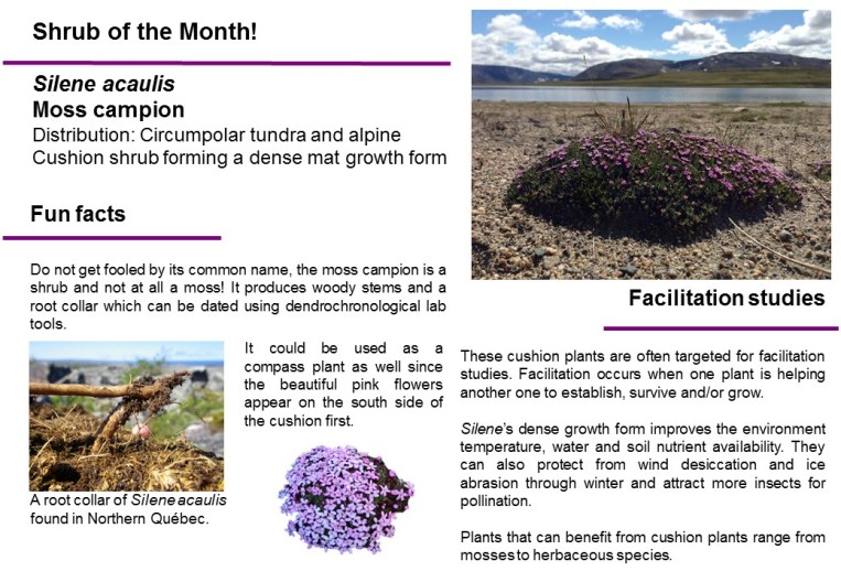 Shrub_of_the_month_S-acaulis