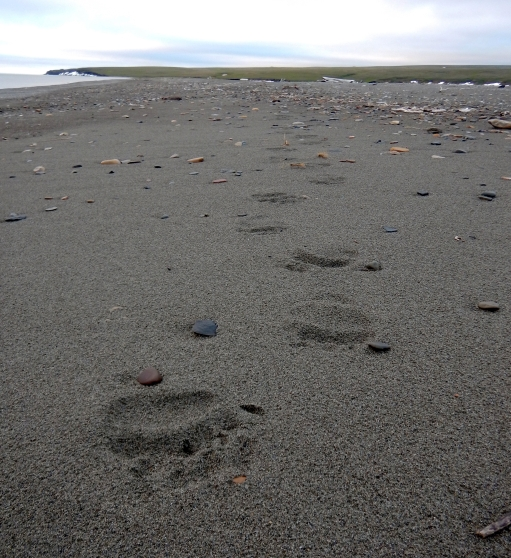 Grizzly bear tracks on the beach.