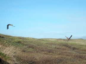 Sandhill cranes flying by on a walk with Cameron.