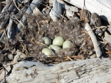 The nest of an eider duck, look at that soft downy spot, looks comfy!