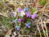 Oxytropis nigrescens