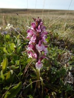 Pedicularis sudetica