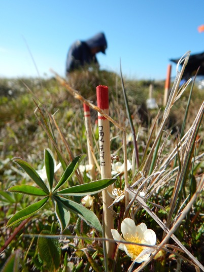 Collecting plant phenology data such as measuring the flower height and leaf length of this Dryas integrifolia plant.