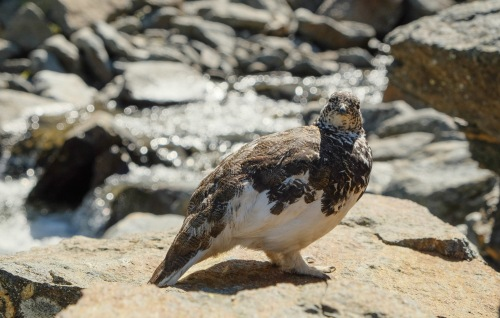 This very unfazed ptarmigan would not move to let us pass across the creek bed