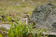 A ptarmigan chick trying to blend in with the surrounding rocks