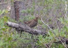 "A spruce grouse, or ""fool hen"""