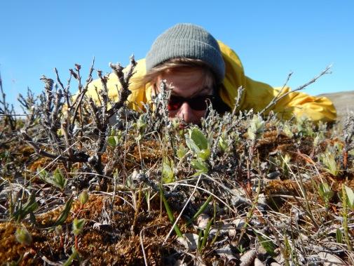 Tundra shenanigans. Santo hanging out amongst the leafing out Salix richardsonii.