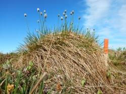 An Eriophorum vaginatum tussock with flowers extending up as the season progresses.