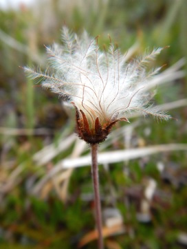 A super fluffy Dryas