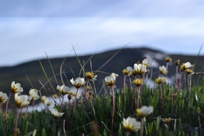 The bright white flowers of Dryas integrifolia