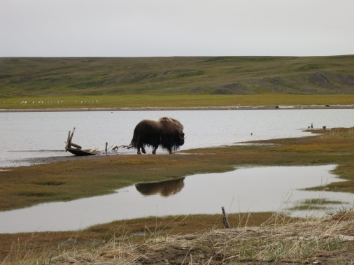Murray the muskox going for a swim