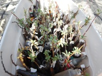 Propagated Kluane willows ready for planting