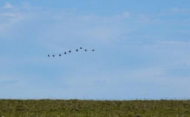 A graceful flight of sandhill cranes