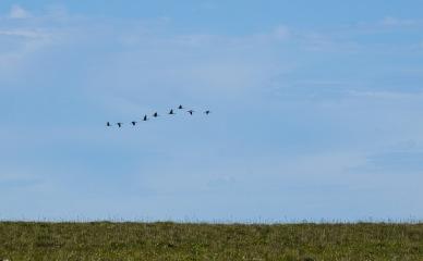 A graceful flight of sandhill cranes