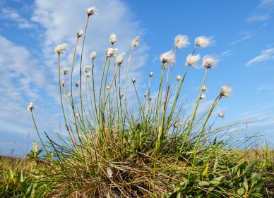 A tussock of Eriophorum