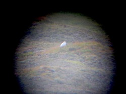 Snowy owl through binoculars