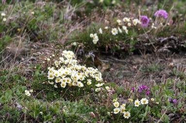 Dryas integrifolia (Arctic avens)) flowers in bloom