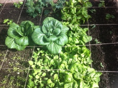 Veggie patch in the community garden - looks like pointframing!