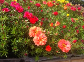 Eleven o'clock, moss rose, rock rose - a plant with many names that I have in my garden in Bulgaria as well!