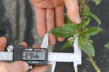 Measuring leaf length