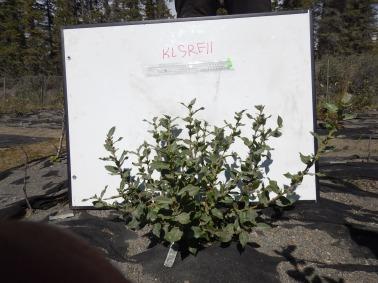 Southern Salix richardsonoo