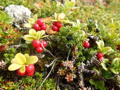 Vaccinium vitis-idaea (lingonberry)