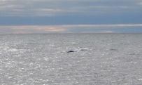 Another amazing beluga photo by Isla.