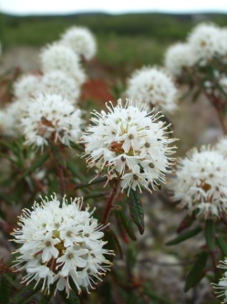 We are crazy about the fragrant smell of Labrador tea