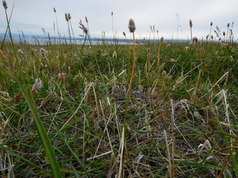 Alopecurus alpinus (foxtail grass)