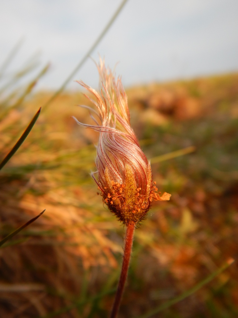 Dryas integrifolia (mountain avens) twisting its filaments before it starts dispersing seeds