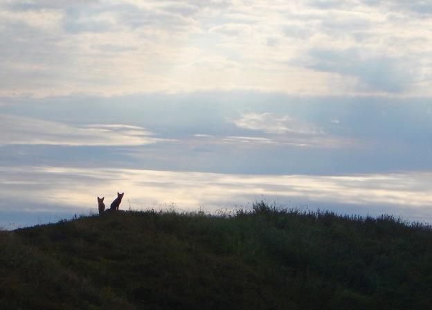 Fox kits watching on the horizon.