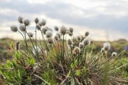 Eriophorum vaginatum (cottongrass) tussocks, characteristic of the Herschel communities