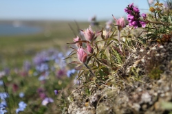 Variety of flowers on Qikiqtaruk-Herschel Island