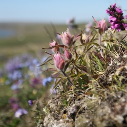 Variety of flowers on Qikiqtaruk-Herschel Island