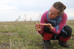 Arctagrostis latifolia (wideleaf pollargrass), is one of the grassy species dominating the Komakuk vegetation type