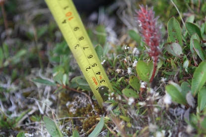 Measuring the height of Salix arctica (arctic willow)