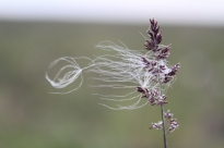 Eriophorum vaginatum (cottongrass) seeds blowing in the wind from an Arctagrostis latifolia (wideleaf pollargrass)