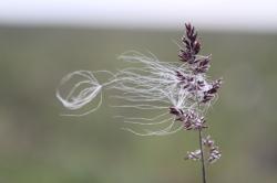 Eriophorum vaginatum (cottongrass) seeds blowing in the wind from an Arctagrostis latifolia (wideleaf pollargrass)