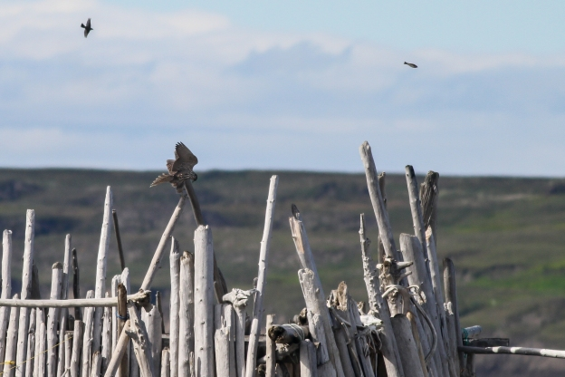 A juvenile gyrfalcon (Falco rusticolus) flying into camp!