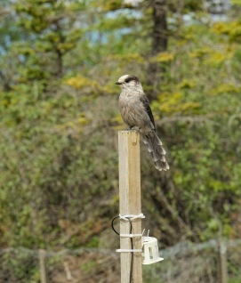 A grey jay (Perisoreus canadensis) supervising our common garden experiment