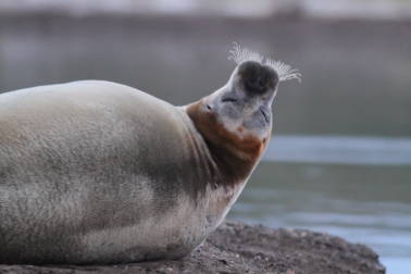 4 GND Bearded Seal