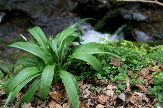 Wild garlic almost in bloom