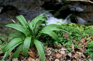 Wild garlic almost in bloom