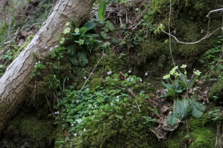 A carpet of woodland plants