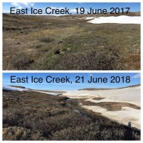 It is a late spring on Qikiqtaruk this year (photo credit: Cameron Eckert)
