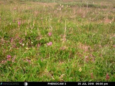 25 July 2018 - Komakuk vegetation type